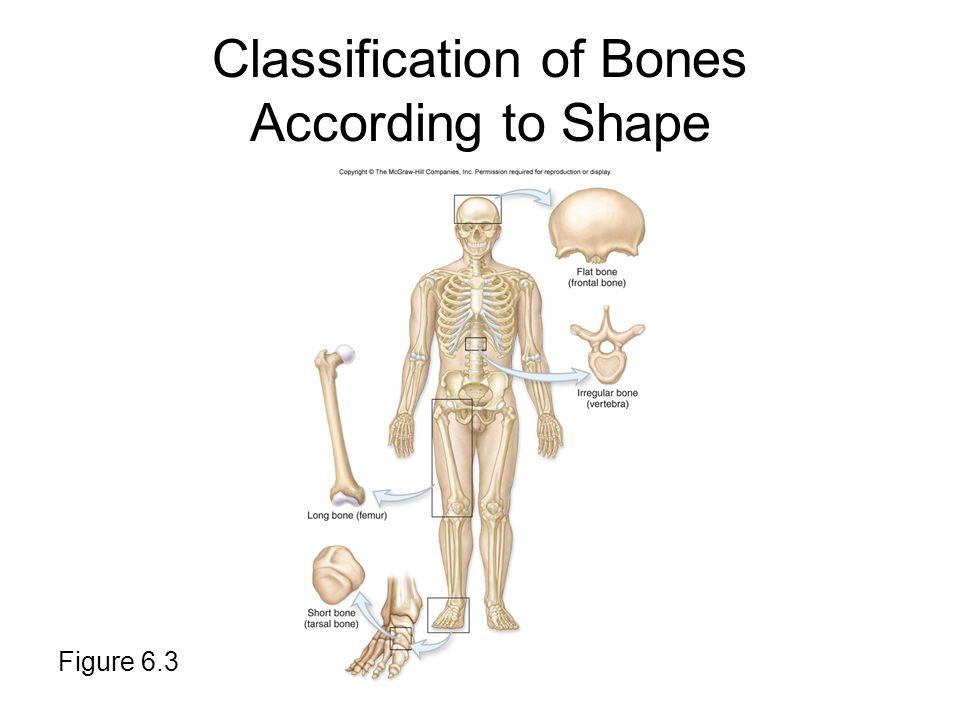 Classification of Bones According to Shape Figure 6.3