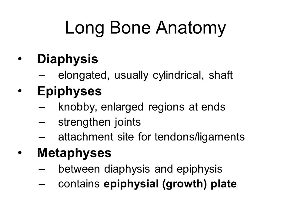 Long Bone Anatomy Diaphysis –elongated, usually cylindrical, shaft Epiphyses –knobby, enlarged regions at ends –strengthen joints –attachment site for