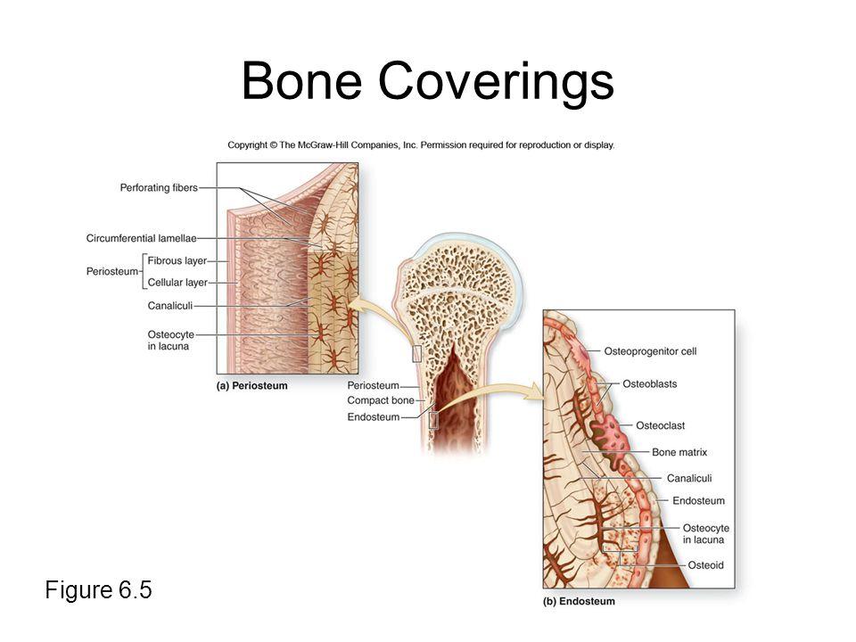 Bone Coverings Figure 6.5