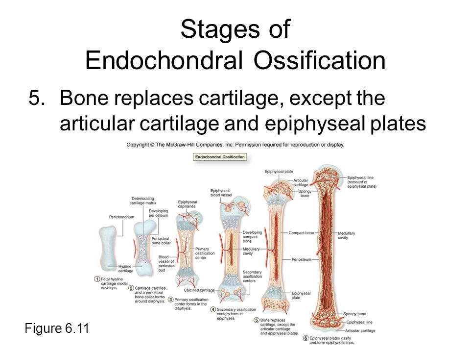 Stages of Endochondral Ossification 5.Bone replaces cartilage, except the articular cartilage and epiphyseal plates Figure 6.11