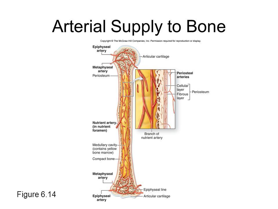 Arterial Supply to Bone Figure 6.14