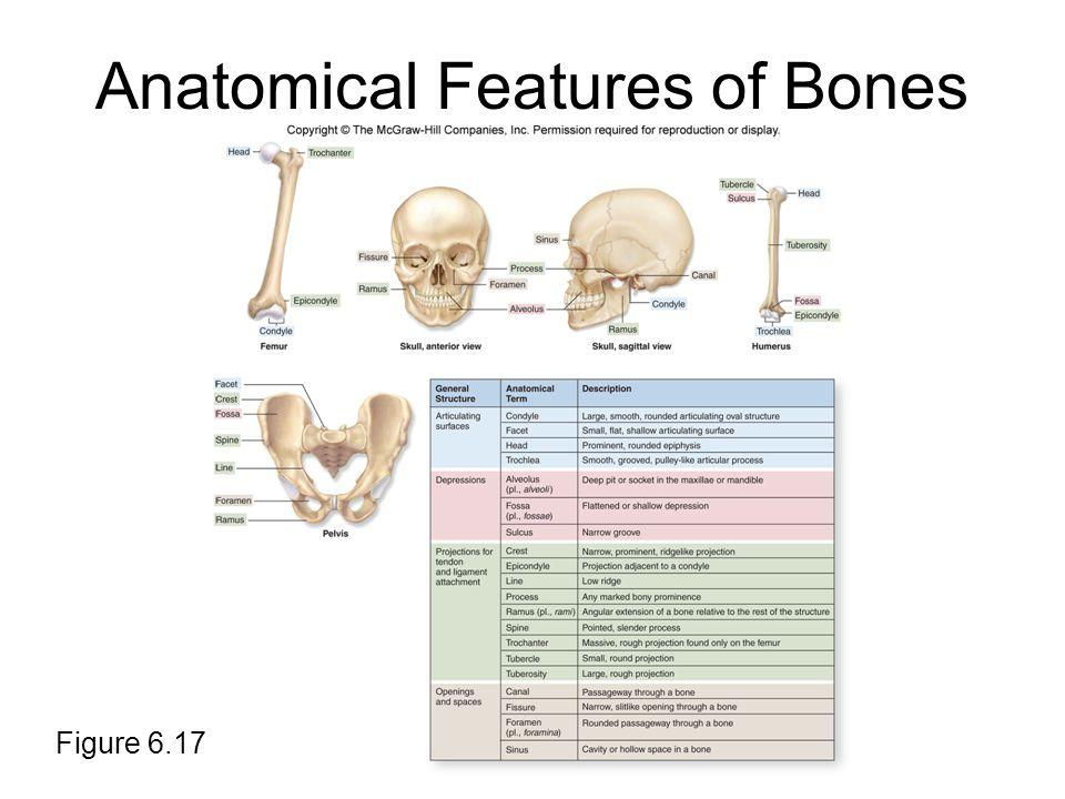 Anatomical Features of Bones Figure 6.17