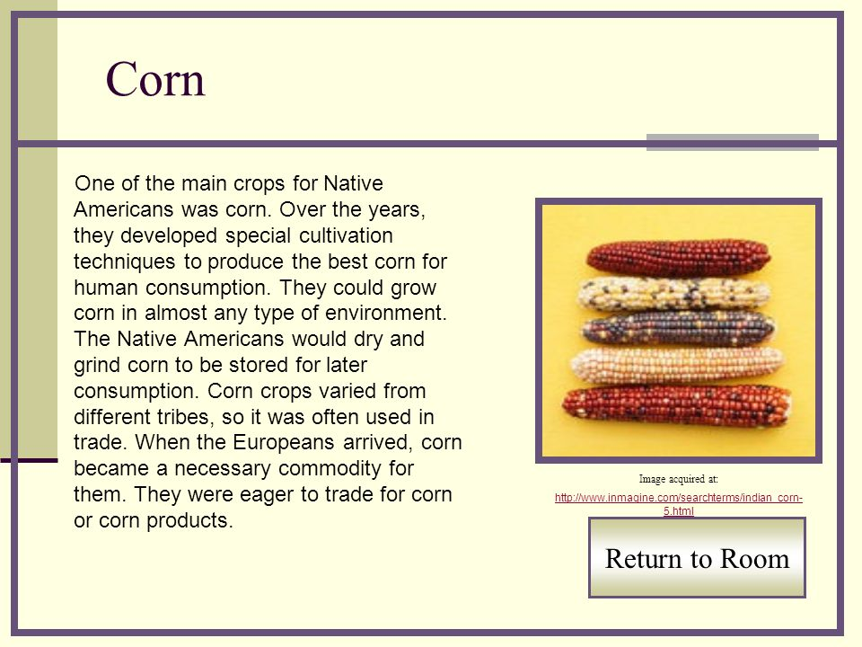 Corn One of the main crops for Native Americans was corn. Over the years, they developed special cultivation techniques to produce the best corn for h