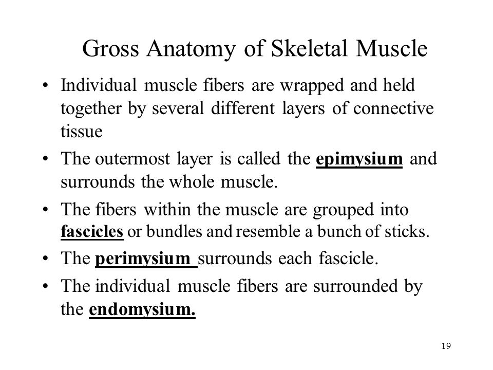 19 Gross Anatomy of Skeletal Muscle Individual muscle fibers are wrapped and held together by several different layers of connective tissue The outerm