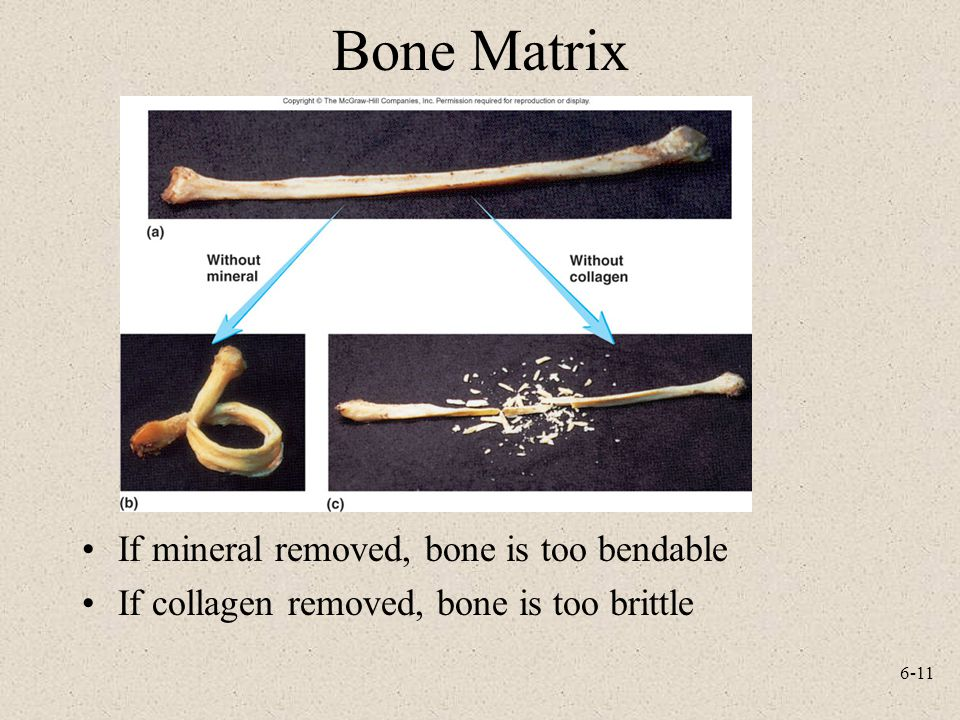 6-11 Bone Matrix If mineral removed, bone is too bendable If collagen removed, bone is too brittle