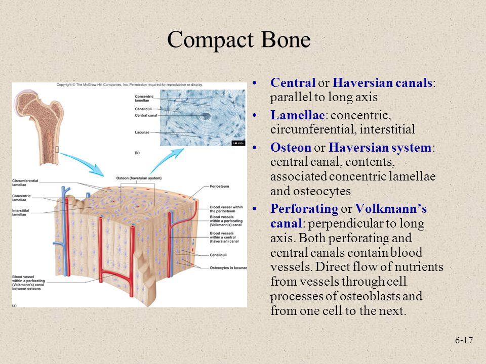 6-17 Compact Bone Central or Haversian canals: parallel to long axis Lamellae: concentric, circumferential, interstitial Osteon or Haversian system: c