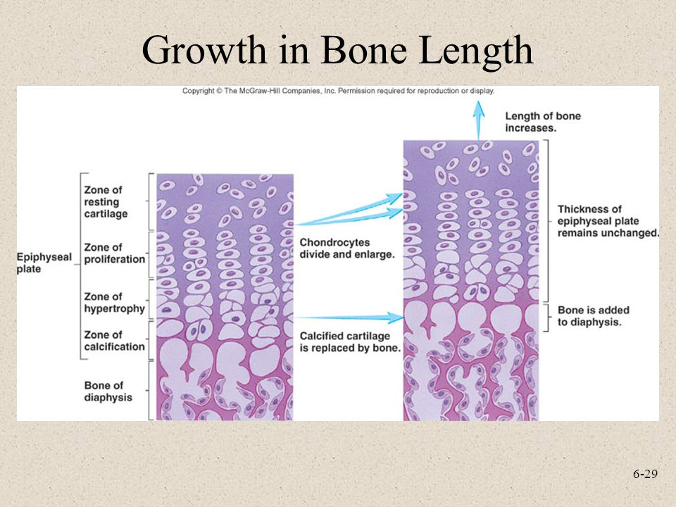 6-29 Growth in Bone Length