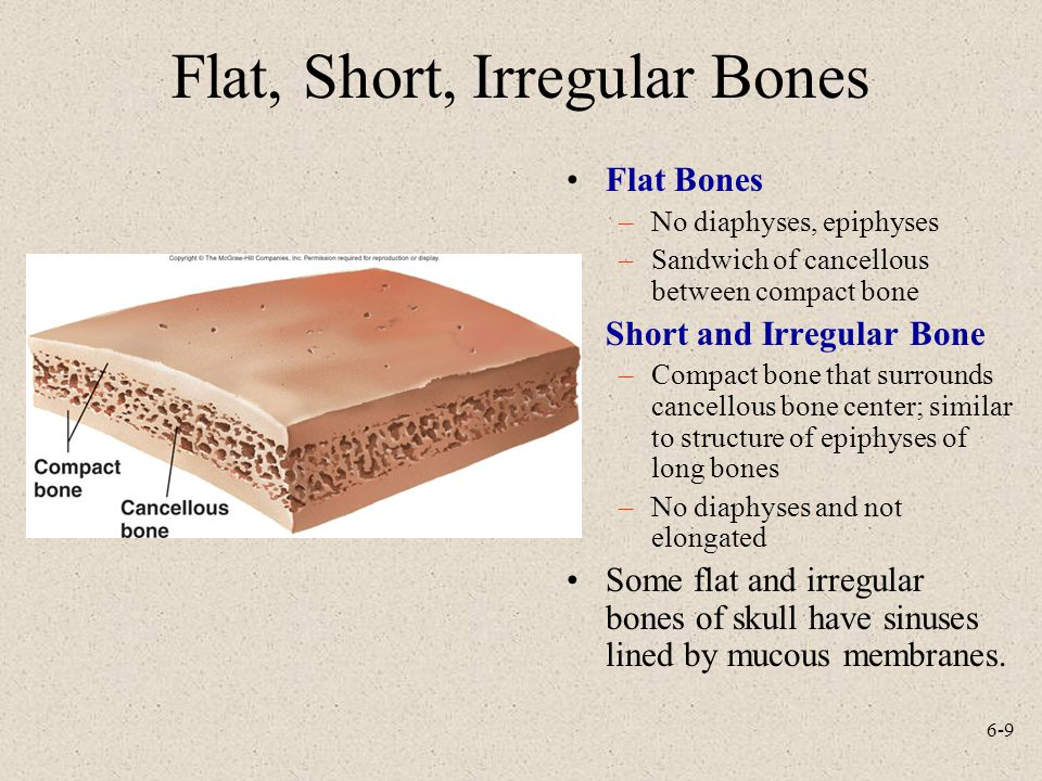 6-9 Flat, Short, Irregular Bones Flat Bones –No diaphyses, epiphyses –Sandwich of cancellous between compact bone Short and Irregular Bone –Compact bone that surrounds cancellous bone center; similar to structure of epiphyses of long bones –No diaphyses and not elongated Some flat and irregular bones of skull have sinuses lined by mucous membranes.
