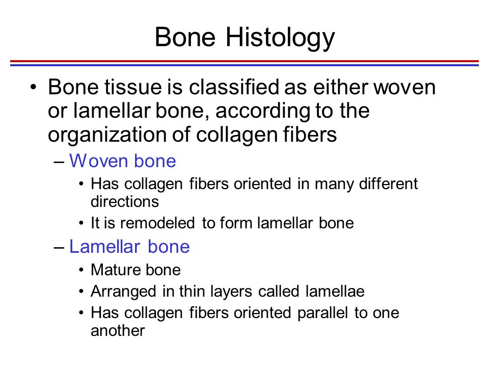 Bone Histology Bone can be classified according to the amount of bone matrix relative to the amount of space present within the bone –Cancellous bone has many spaces Internal layer which is a honeycomb of trabeculae filled with red or yellow bone marrow –Compact bone is dense with few spaces External layer Fig.