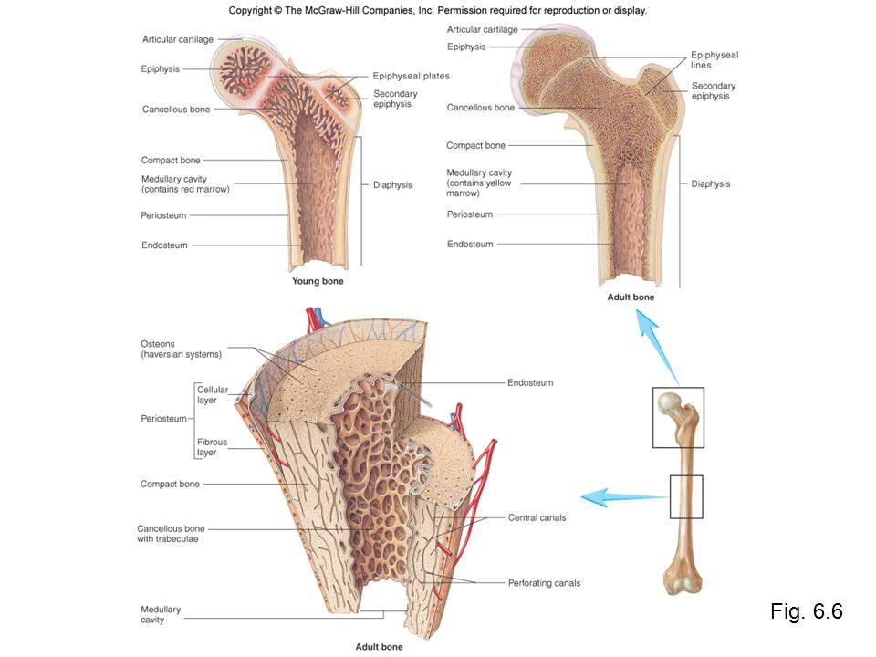 Bone Anatomy Structure of Flat, Short, and Irregular Bones –Flat bones contain an interior framework of cancellous bone sandwiched between two layers of compact bone –Short and Irregular bones have a composition similar to the ends of long bones