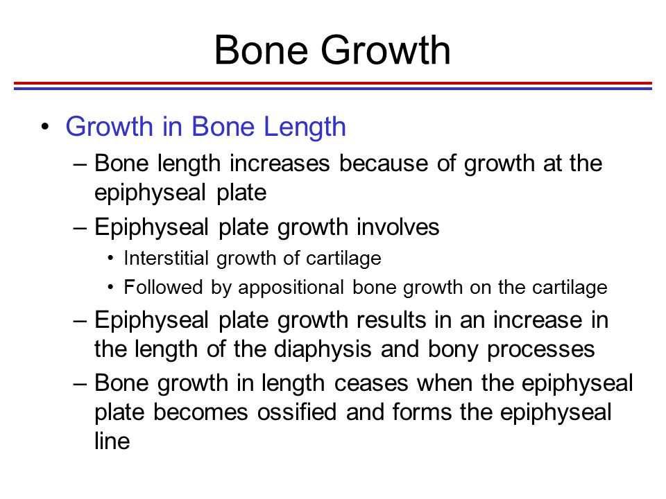 Postnatal Bone Growth Growth in Long Bones –The epiphyseal plate is organized into four zones 1.Zone of resting cartilage Cartilage attaches to the epiphysis 2.Zone of proliferation New cartilage is produced on the epiphyseal side of the plate as the chondrocytes divide and form stacks of cells 3.Zone of hypertrophy Chondrocytes mature and enlarge 4.Zone of calcification Matrix is calcified, and chondrocytes die Ossified bone –The calcified cartilage on the diaphyseal side of the plate is replaced by bone