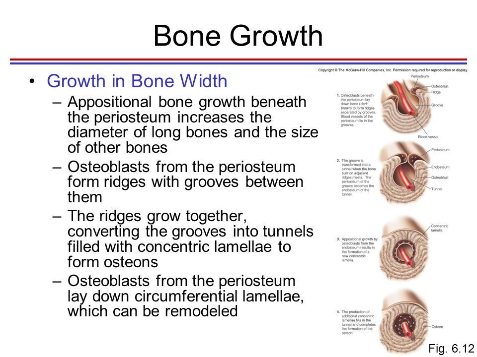 Bone Growth Factors Affecting Bone Growth –Genetic factors determine bone shape and size The expression of genetic factors can be modified –Factors that alter the mineralization process or the production of organic matrix Deficiencies in vitamin D –Hormones Growth hormone, estrogen, and testosterone stimulate bone growth
