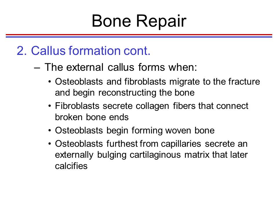 Bone Repair 3.Callus ossification –The fibers and cartilage of the internal and external calluses are ossified to produce woven, cancellous bone –Cancellous bone formation in the callus is usually complete 4-6 weeks after the injury Fig.