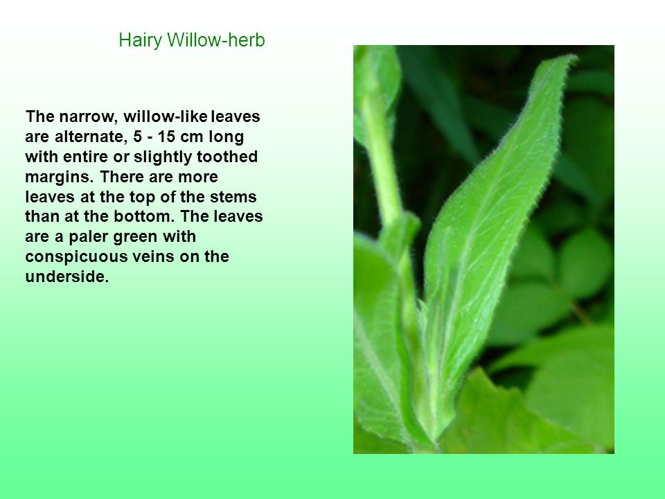 Hairy Willow-herb The narrow, willow-like leaves are alternate, 5 - 15 cm long with entire or slightly toothed margins. There are more leaves at the t