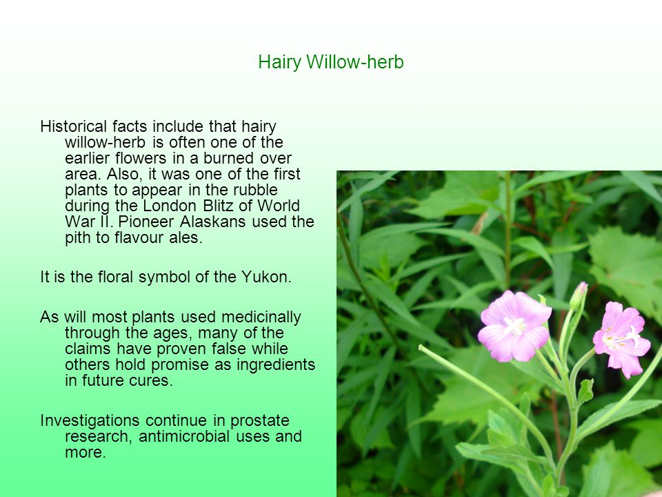 Hairy Willow-herb Historical facts include that hairy willow-herb is often one of the earlier flowers in a burned over area. Also, it was one of the f