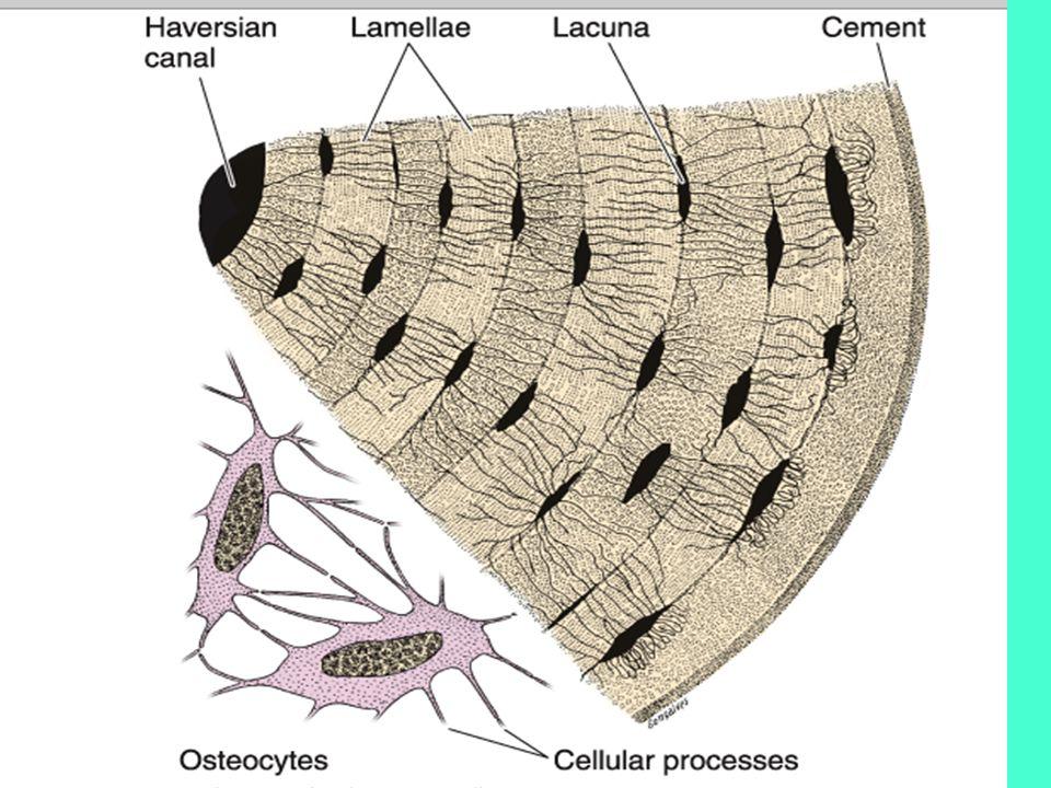 OSTEONS