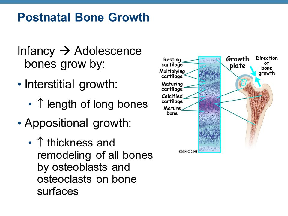 Postnatal Bone Growth Infancy  Adolescence bones grow by: Interstitial growth:  length of long bones Appositional growth:  thickness and remodeling