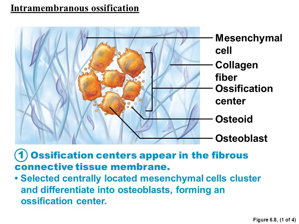 Figure 6.8, (1 of 4) Mesenchymal cell Collagen fiber Ossification center Osteoid Osteoblast Ossification centers appear in the fibrous connective tiss