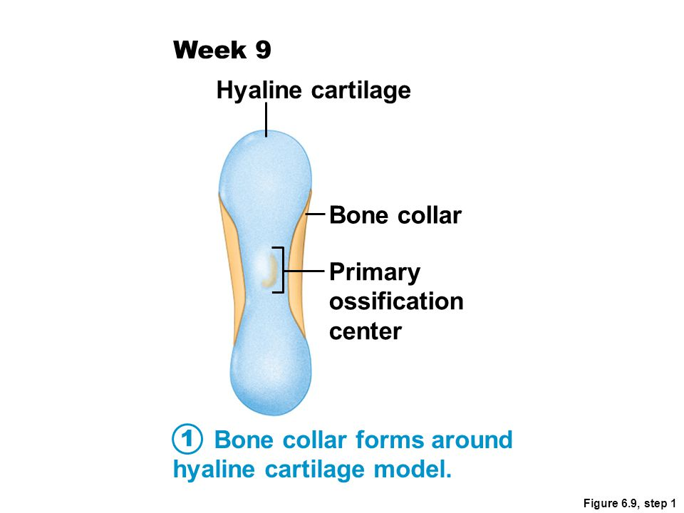Figure 6.9, step 2 Cartilage in the center of the diaphysis calcifies and then develops cavities.