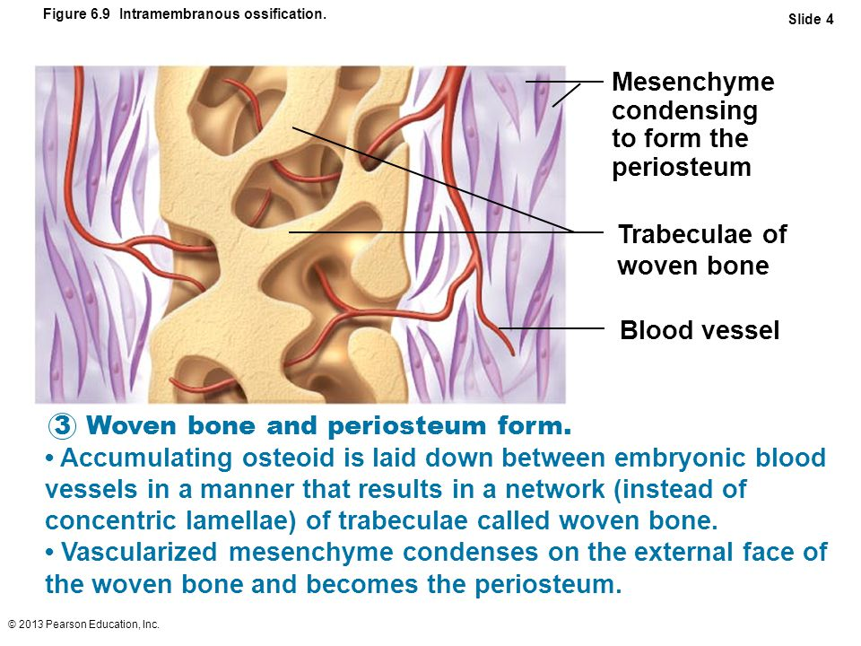 © 2013 Pearson Education, Inc. Figure 6.9 Intramembranous ossification.