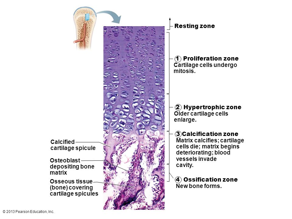 © 2013 Pearson Education, Inc. Resting zone 1 Proliferation zone Cartilage cells undergo mitosis. 2 Hypertrophic zone Older cartilage cells enlarge. 3