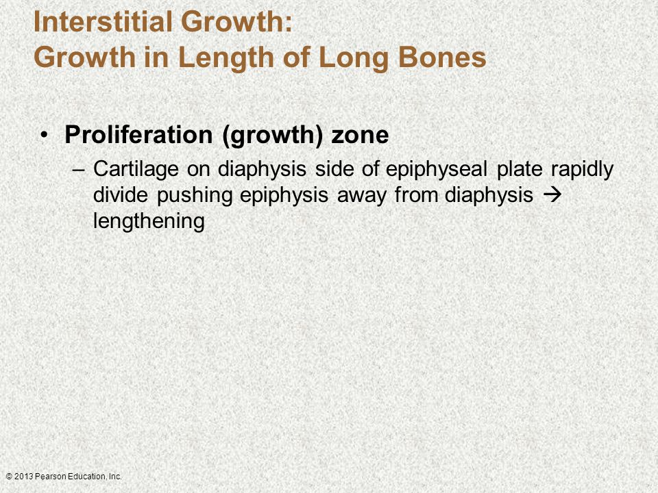 Interstitial Growth: Growth in Length of Long Bones Proliferation (growth) zone –Cartilage on diaphysis side of epiphyseal plate rapidly divide pushin