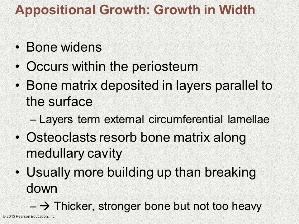 Appositional Growth: Growth in Width Bone widens Occurs within the periosteum Bone matrix deposited in layers parallel to the surface –Layers term external circumferential lamellae Osteoclasts resorb bone matrix along medullary cavity Usually more building up than breaking down –  Thicker, stronger bone but not too heavy
