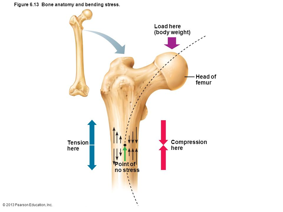 © 2013 Pearson Education, Inc. Figure 6.13 Bone anatomy and bending stress. Load here (body weight) Head of femur Compression here Point of no stress