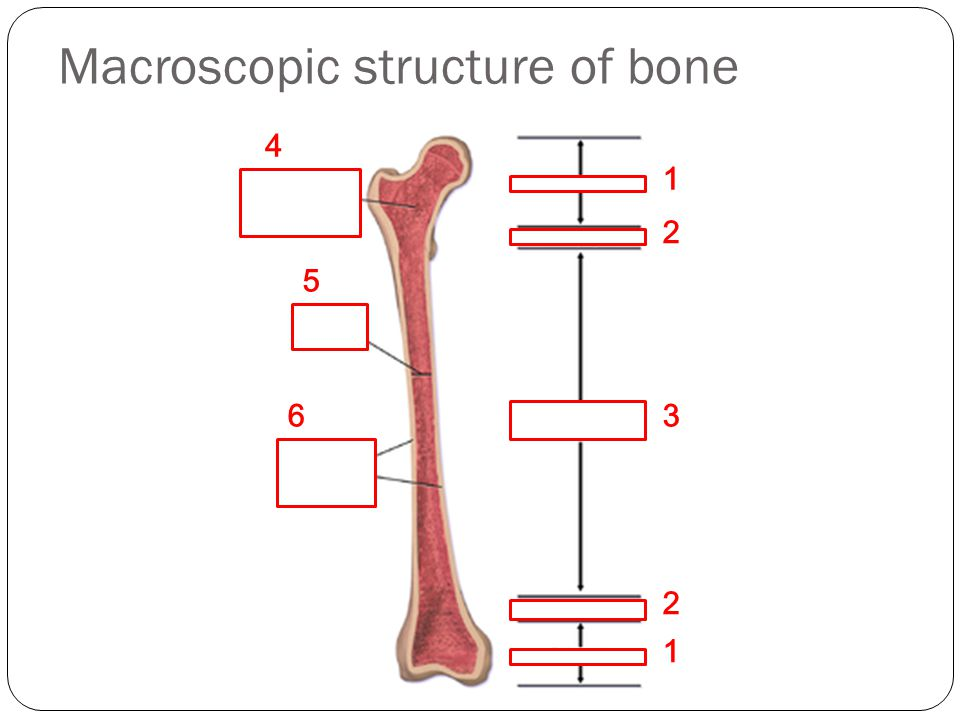 Macroscopic structure of bone (trabecular) (cortical) 1 2 3 4 1 2 5 6