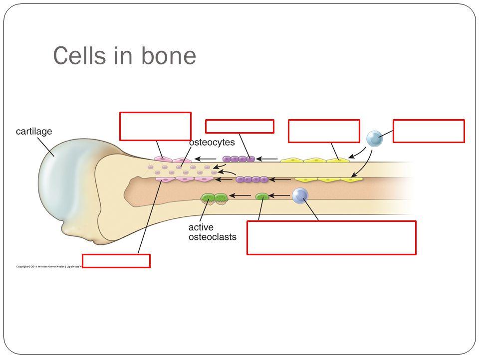 Cells in bone