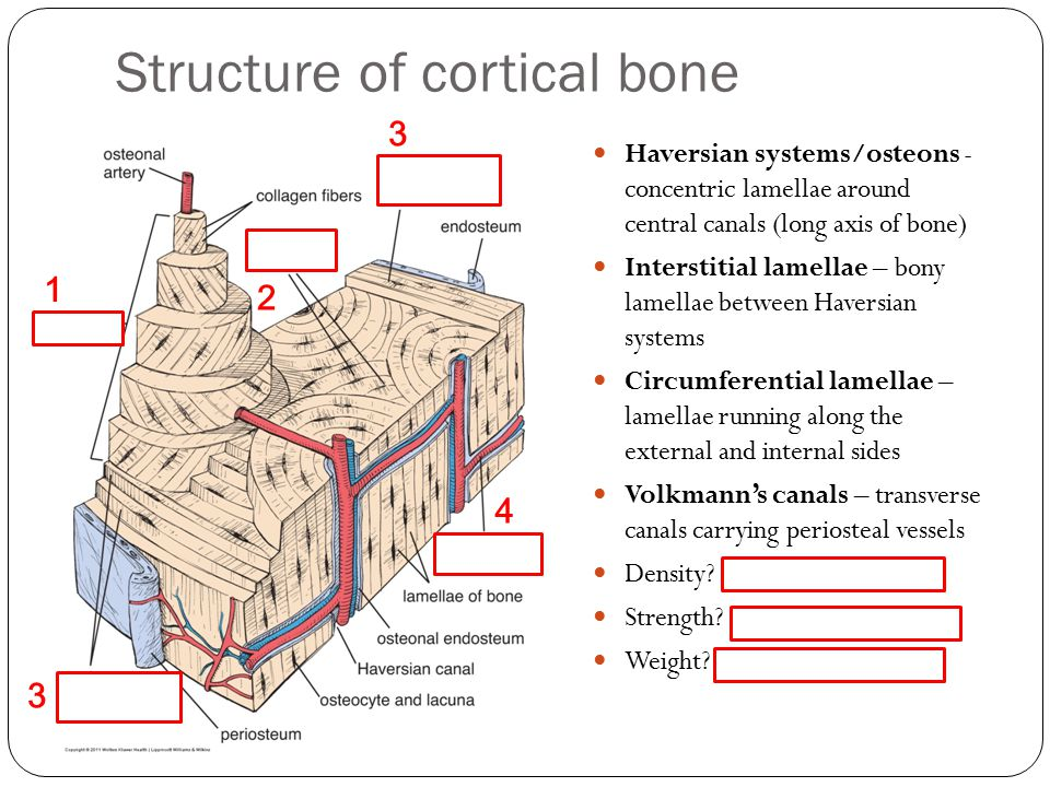 Structure of cortical bone Haversian systems/osteons - concentric lamellae around central canals (long axis of bone) Interstitial lamellae – bony lamellae between Haversian systems Circumferential lamellae – lamellae running along the external and internal sides Volkmann's canals – transverse canals carrying periosteal vessels Density.