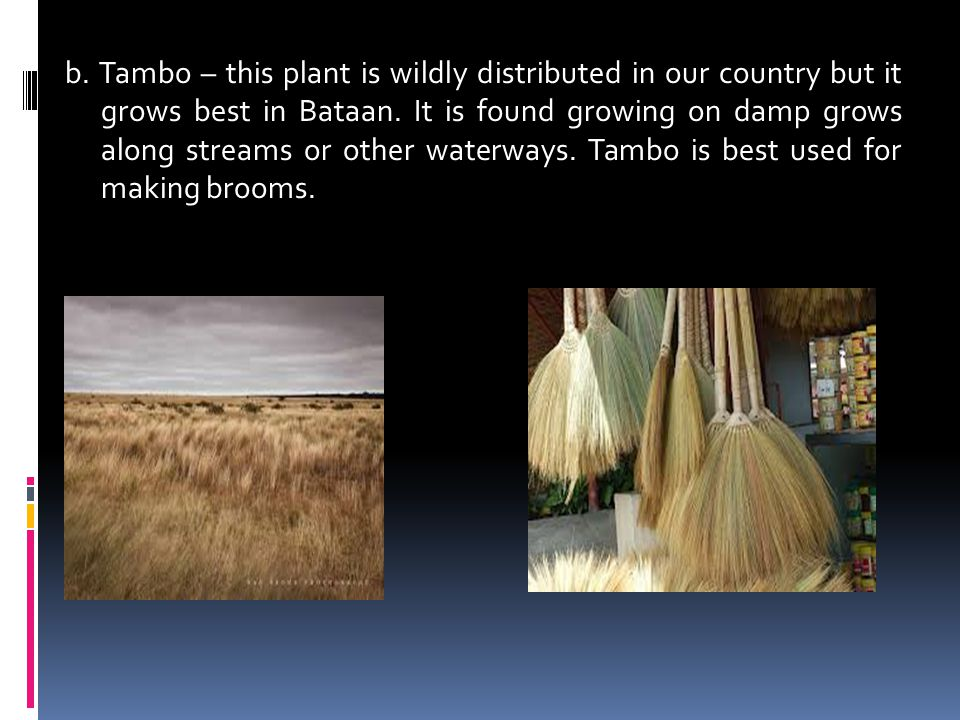 b. Tambo – this plant is wildly distributed in our country but it grows best in Bataan. It is found growing on damp grows along streams or other water