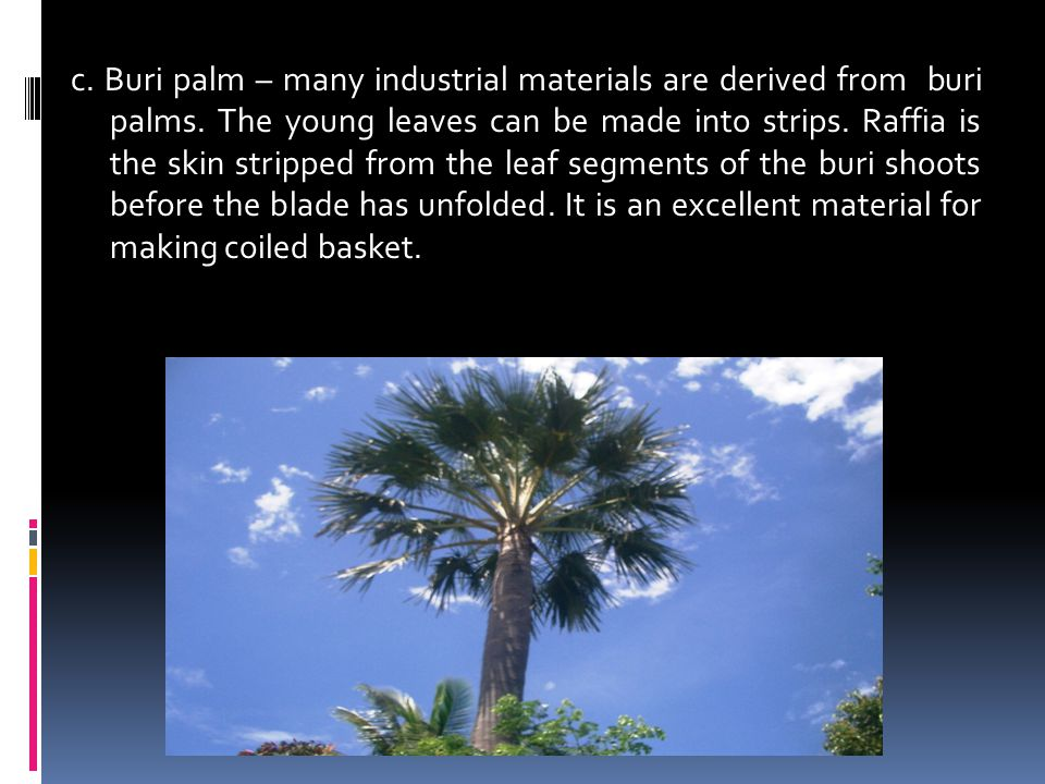 c. Buri palm – many industrial materials are derived from buri palms. The young leaves can be made into strips. Raffia is the skin stripped from the l