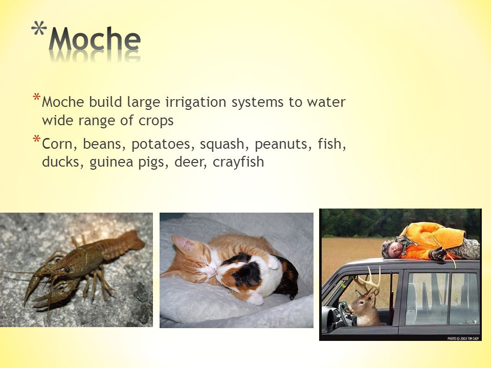* Moche build large irrigation systems to water wide range of crops * Corn, beans, potatoes, squash, peanuts, fish, ducks, guinea pigs, deer, crayfish