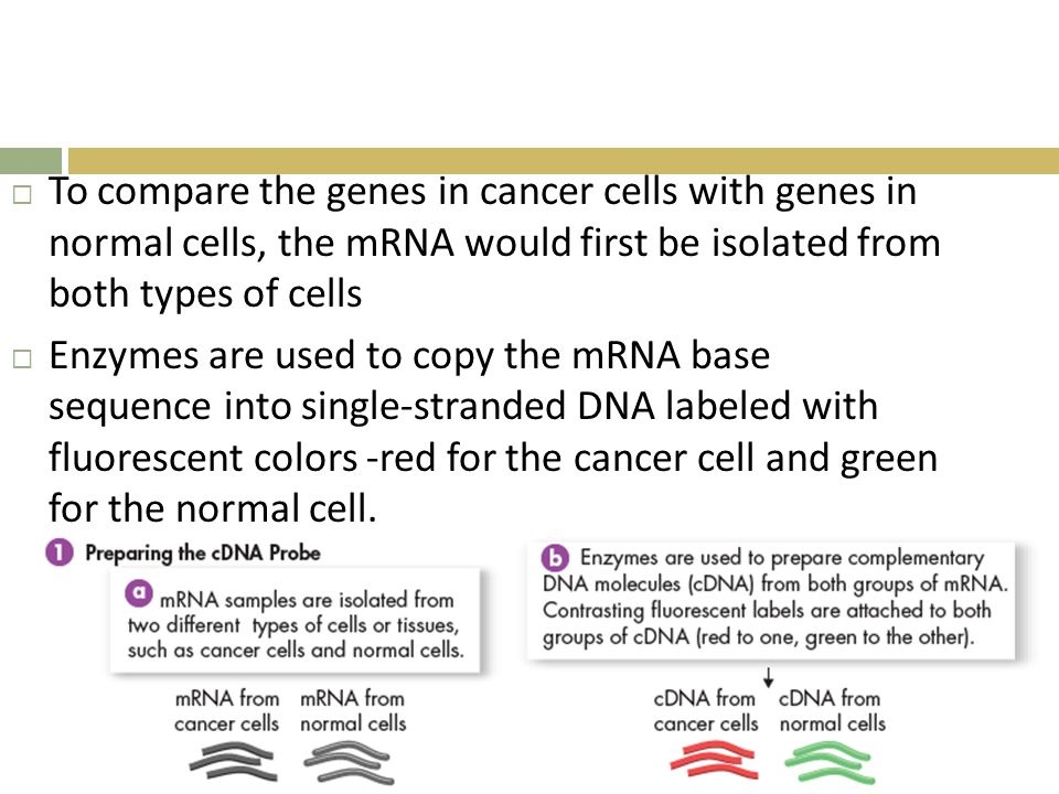  To compare the genes in cancer cells with genes in normal cells, the mRNA would first be isolated from both types of cells  Enzymes are used to copy the mRNA base sequence into single-stranded DNA labeled with fluorescent colors -red for the cancer cell and green for the normal cell.