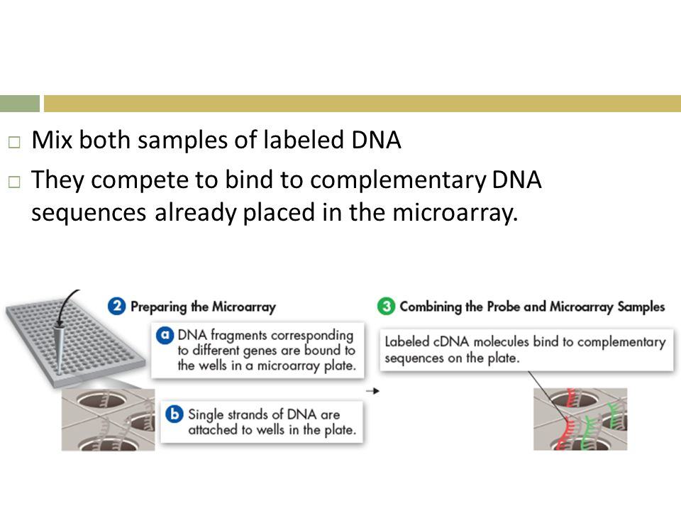  Mix both samples of labeled DNA  They compete to bind to complementary DNA sequences already placed in the microarray.