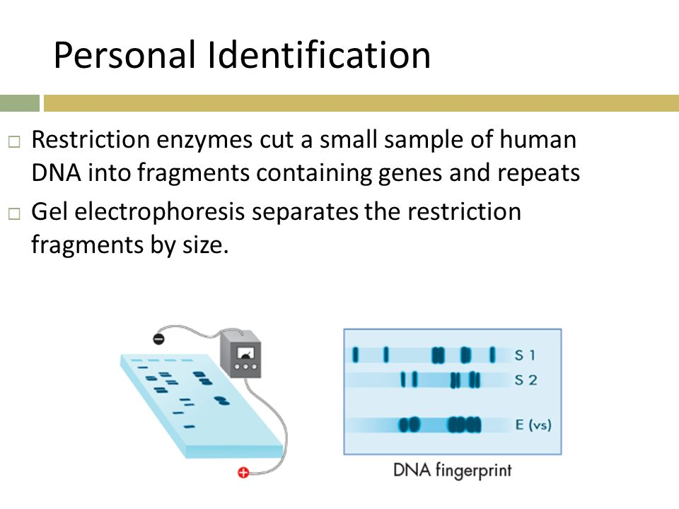 Personal Identification  Restriction enzymes cut a small sample of human DNA into fragments containing genes and repeats  Gel electrophoresis separates the restriction fragments by size.