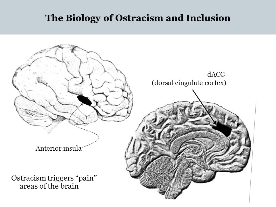 "The Biology of Ostracism and Inclusion Anterior insula dACC (dorsal cingulate cortex) Ostracism triggers ""pain"" areas of the brain"