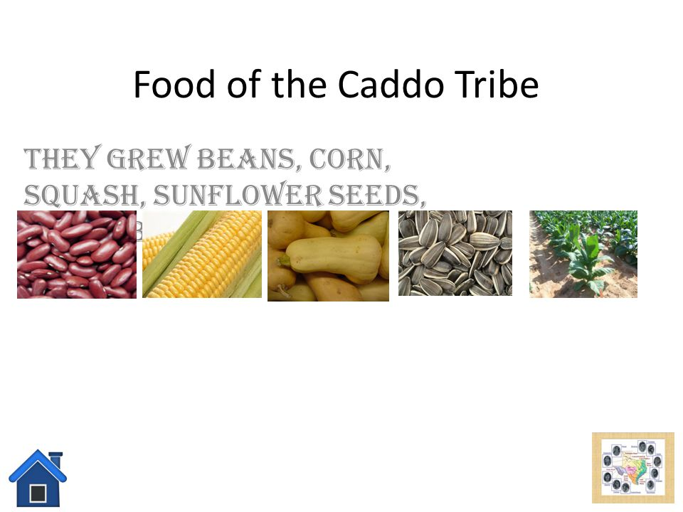 Caddo Tribe Click here to learn about their food! Click here to learn about their shelter! Click here to learn about their tools and weapons! Click he