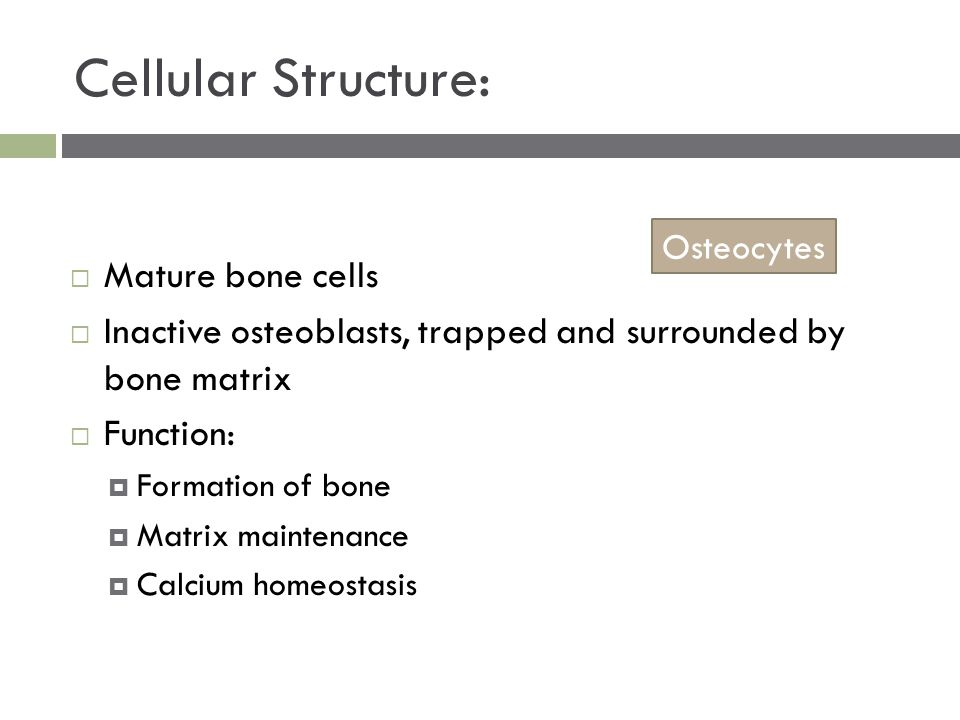 Cellular Structure:  Mature bone cells  Inactive osteoblasts, trapped and surrounded by bone matrix  Function:  Formation of bone  Matrix maintenance  Calcium homeostasis Osteocytes
