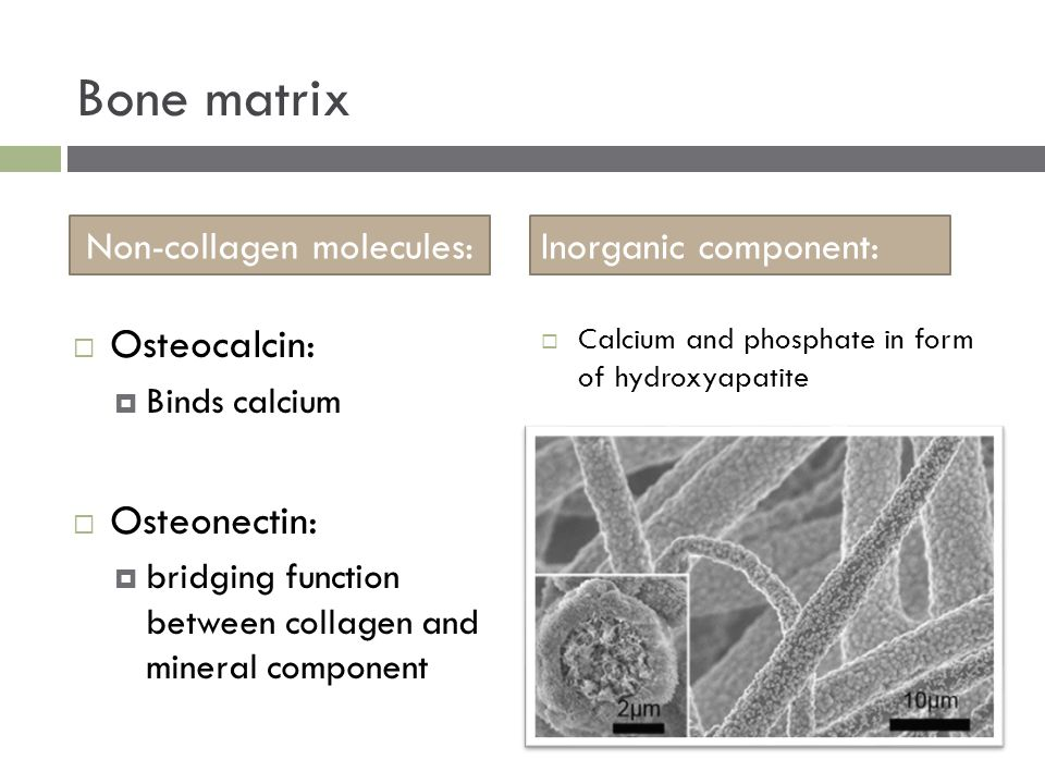  Calcium and phosphate in form of hydroxyapatite Bone matrix Non-collagen molecules:Inorganic component:  Osteocalcin:  Binds calcium  Osteonectin:  bridging function between collagen and mineral component