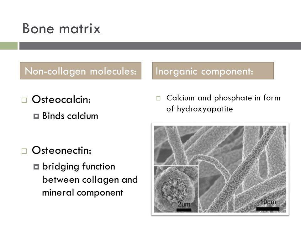  Calcium and phosphate in form of hydroxyapatite Bone matrix Non-collagen molecules:Inorganic component:  Osteocalcin:  Binds calcium  Osteonectin