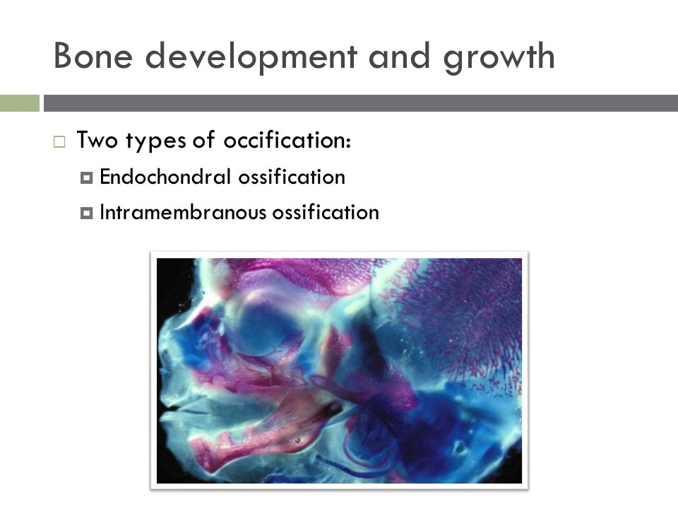  Two types of occification:  Endochondral ossification  Intramembranous ossification Bone development and growth