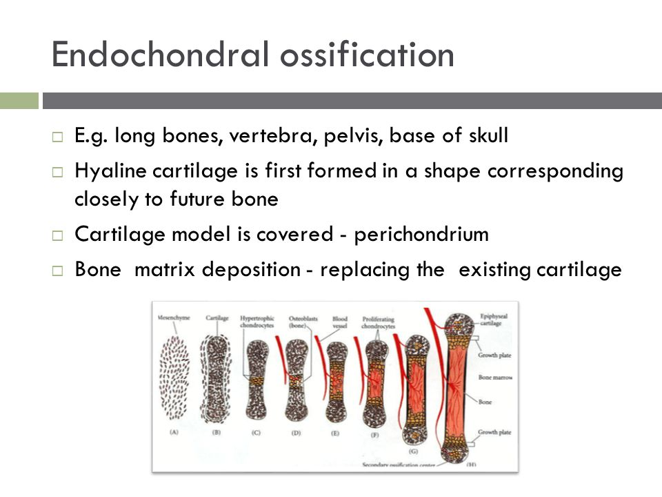 Endochondral ossification  E.g. long bones, vertebra, pelvis, base of skull  Hyaline cartilage is first formed in a shape corresponding closely to f