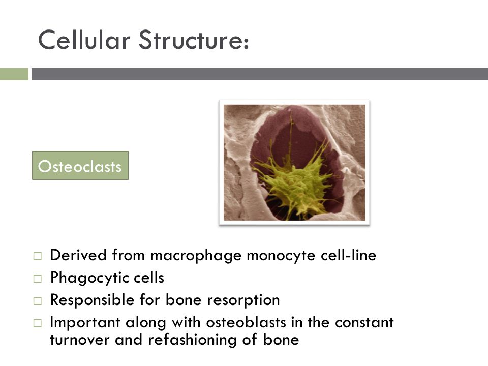 Cellular Structure:  Derived from macrophage monocyte cell-line  Phagocytic cells  Responsible for bone resorption  Important along with osteoblas
