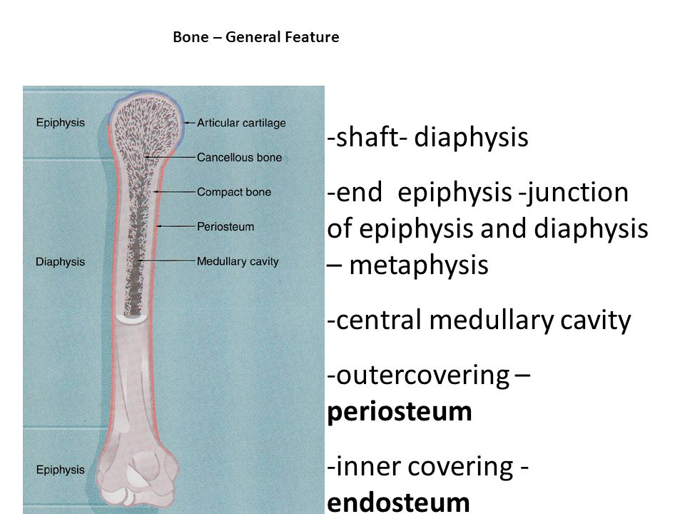 Bone – General Feature -shaft- diaphysis -end epiphysis -junction of epiphysis and diaphysis – metaphysis -central medullary cavity -outercovering – periosteum -inner covering - endosteum