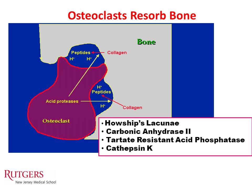 Howship's Lacunae Carbonic Anhydrase II Tartate Resistant Acid Phosphatase Cathepsin K Osteoclasts Resorb Bone