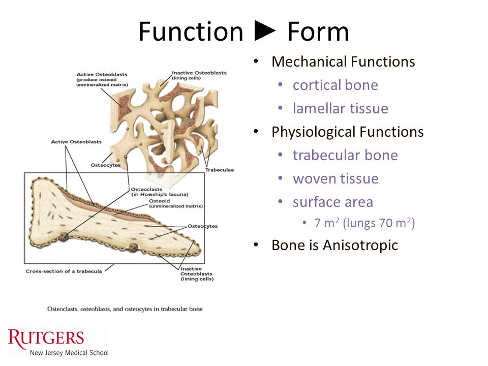 Function ► Form Mechanical Functions cortical bone lamellar tissue Physiological Functions trabecular bone woven tissue surface area 7 m 2 (lungs 70 m