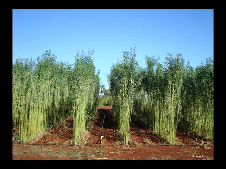 Rows of Hemp Marijuana