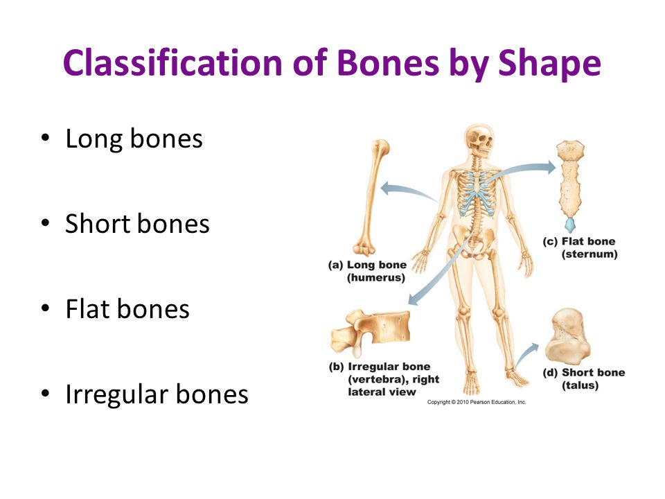Classification of Bones by Shape Long bones Short bones Flat bones Irregular bones